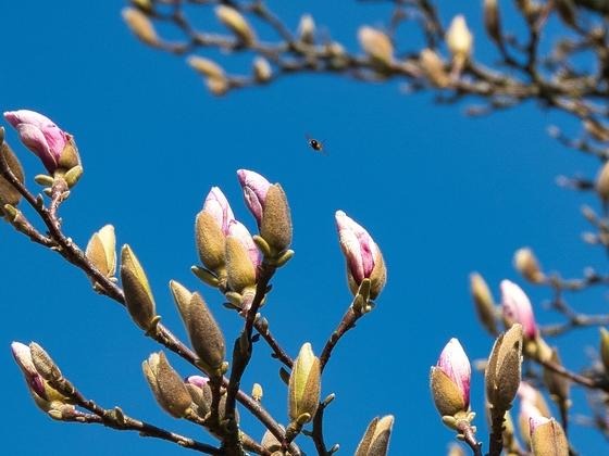 Die Magnolien fangen an zu knospen