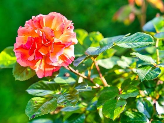 2021-06-14 Rose im Abendlicht