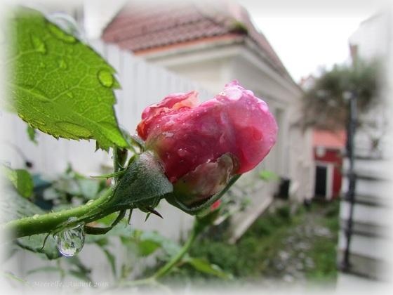 """Die """"weinenden"""" Rosen von Bergen"""