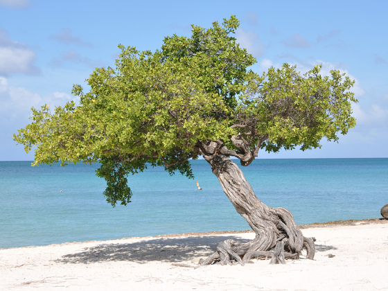 Divi Divi Baum am Eagle Beach, Aruba