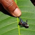 Der kleinste Frosch auf Madagaskar