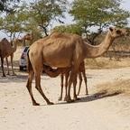 Der Nachwuchs hat Durst in Salalah