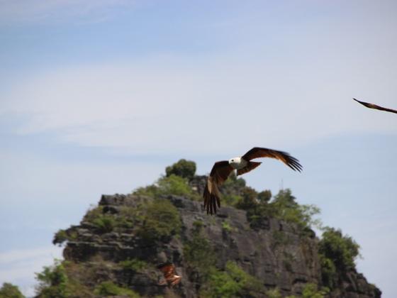 Langkawi Seeadler