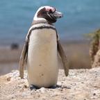 Magellan-Pinguin auf Valdes