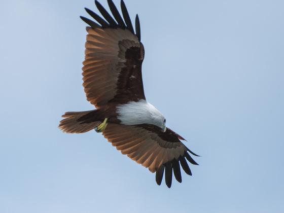 Adler auf Langkawi