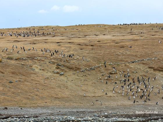 Magellan-Pinguine auf Magdalena Island