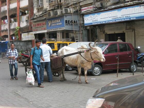 Mumbai Impressions ( Heilige Tiere gehören zum Stadtbild)