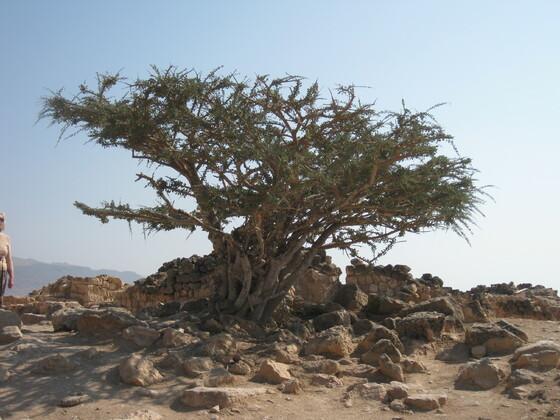 Salalah - Ein Weihrauchbaum