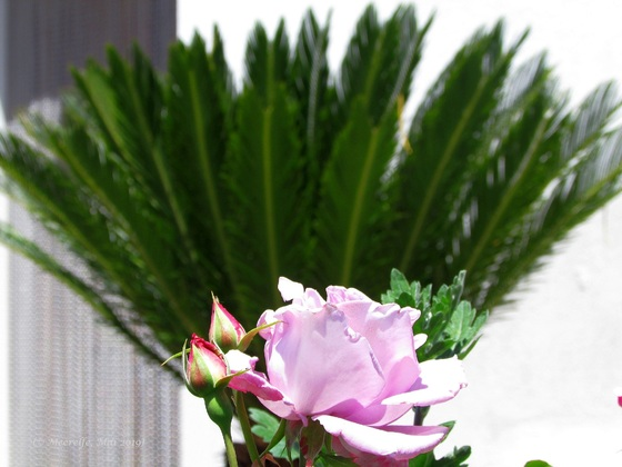 Rosenpalme oder Palmwedel-Rose?