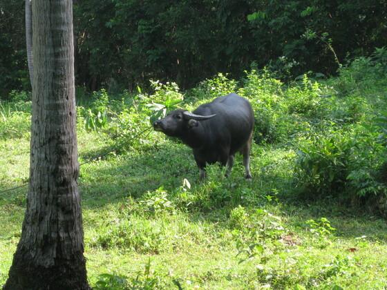 Koh Samui - Wasserbüffel werden so an die Leine gelegt :-(