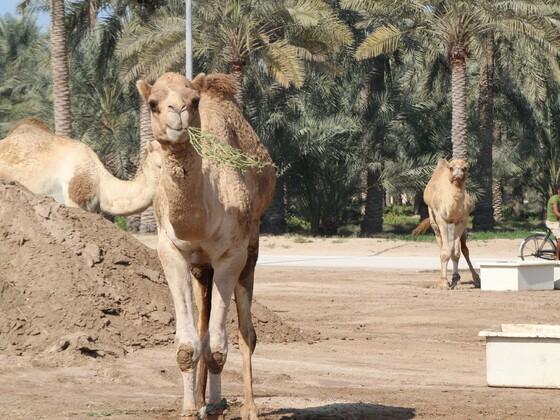 Bahrain - Königliche Kamelfarm in Janabiyah