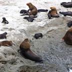 Seelöwen auf Halbinsel Valdes
