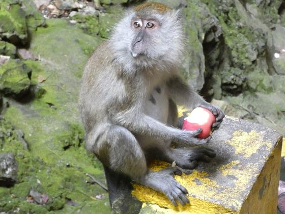 Affen in den Batu Caves, Malaysia - Nahe Kuala Lumpur